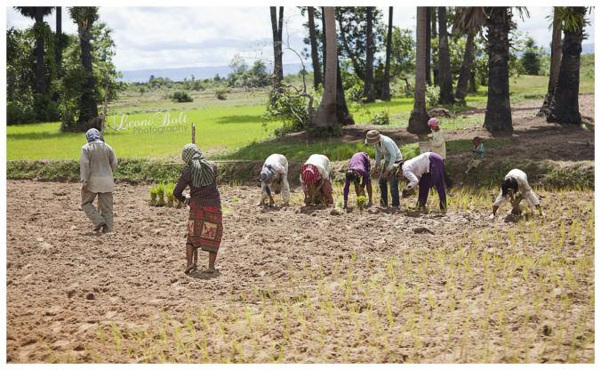 farming rice in Vietnam